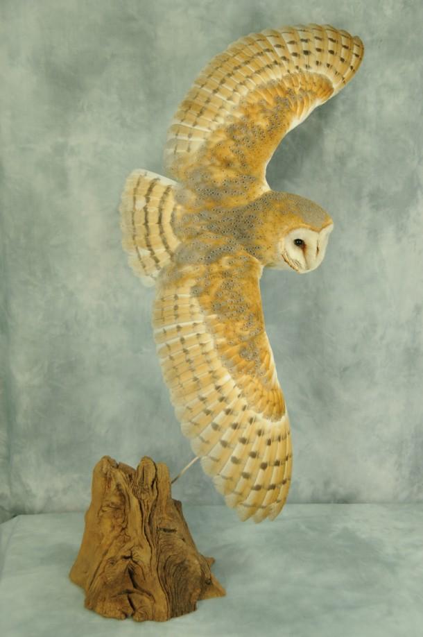 Barn Owl Bird Taxidermy in flight by UK Taxidermist Mike Gadd