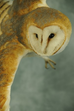 Barn Owl Taxidermy Flying