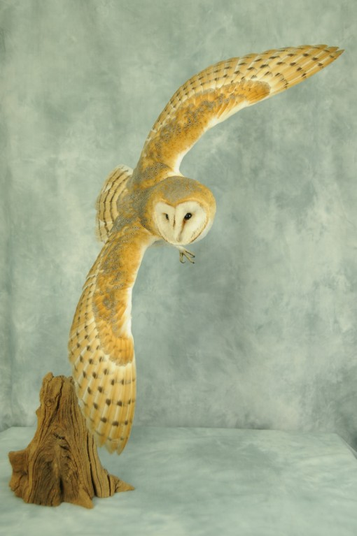 front view of Barn Owl Bird Taxidermy in flight by UK Taxidermist Mike Gadd