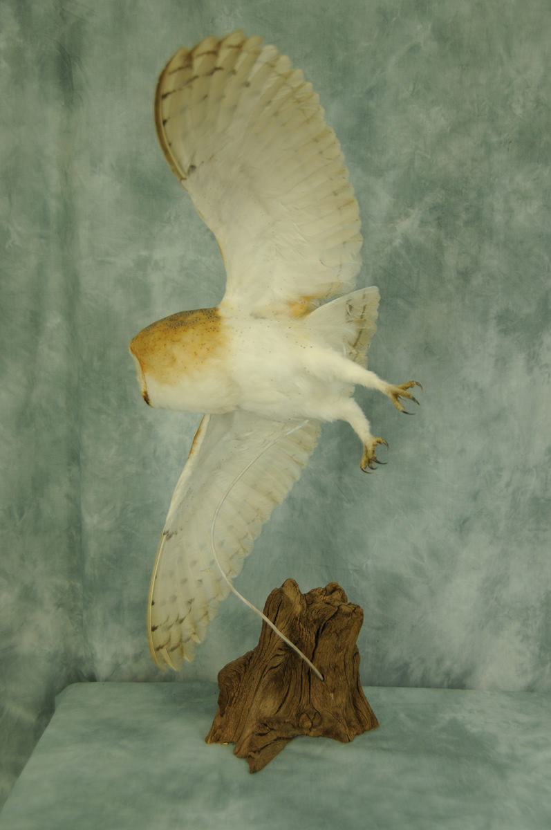 Underside of Barn Owl Bird Taxidermy in flight