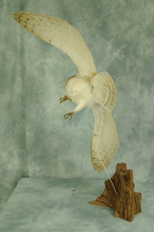 rear view of Barn Owl Bird Taxidermy in flight by UK Taxidermist Mike Gadd