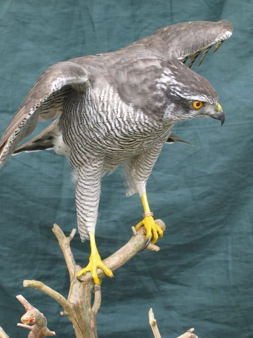 taxidermy Northern Goshawk, Accipiter gentilis front view