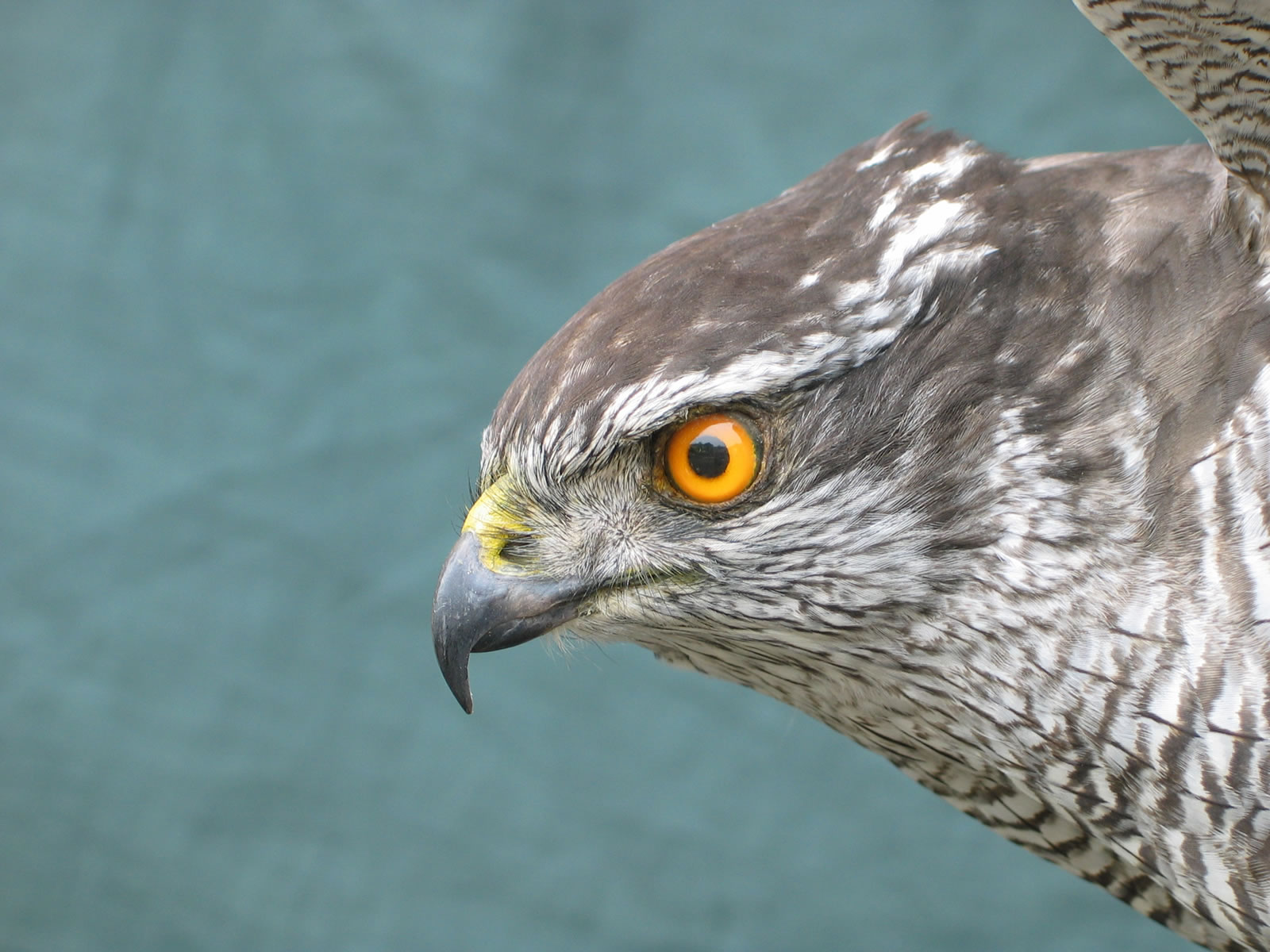 Northern Goshawk Taxidermy
