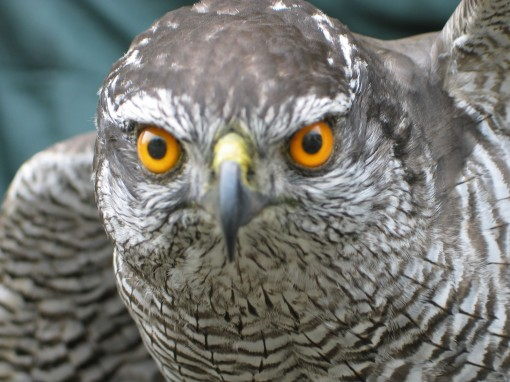 Northern Goshawk, Accipiter gentilis Head front Taxidermy