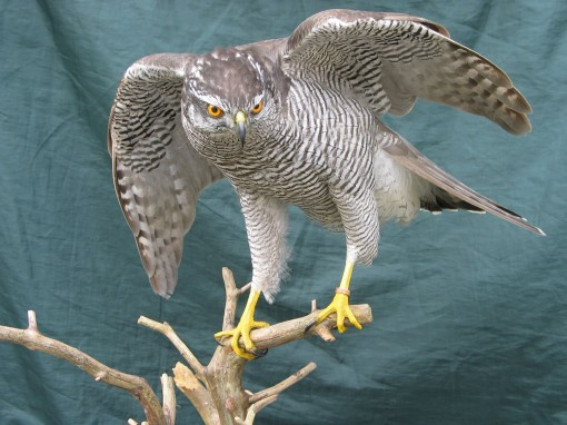 Taxidermy Northern Goshawk, Accipiter gentilis