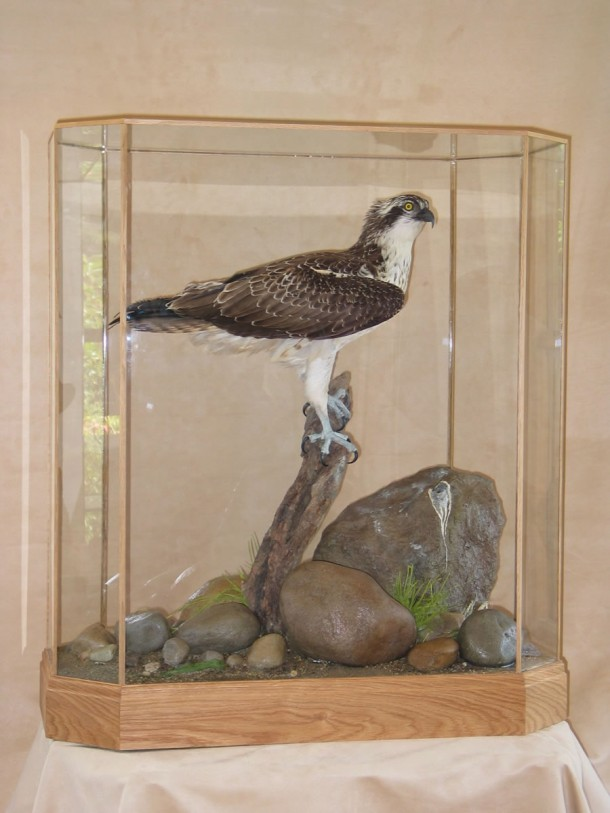taxidermy Osprey Pandion haliaetus in case