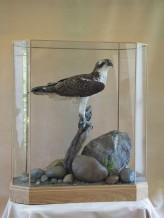 Osprey Pandion haliaetus in glass case