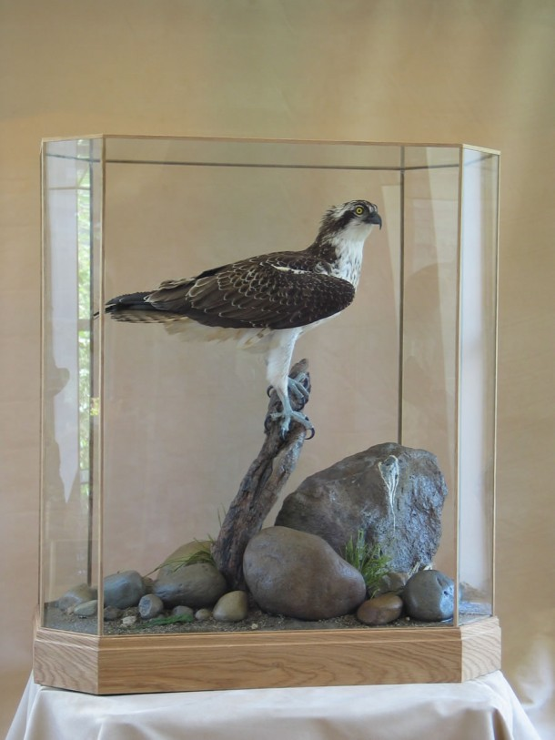 Osprey Pandion haliaetus in glass case