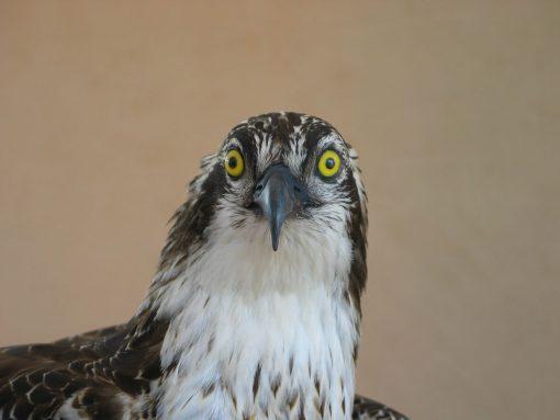 Osprey Pandion haliaetus Head