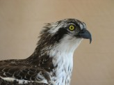 Taxidermy Osprey Pandion haliaetus Head