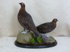Red Grouse Taxidermy polihsed base