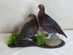 Red Grouse taxidermy Lagopus