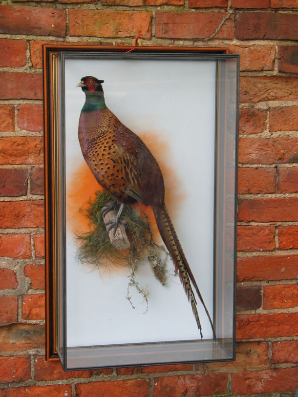 taxidermy Common Pheasant (Phasianus colchicus)