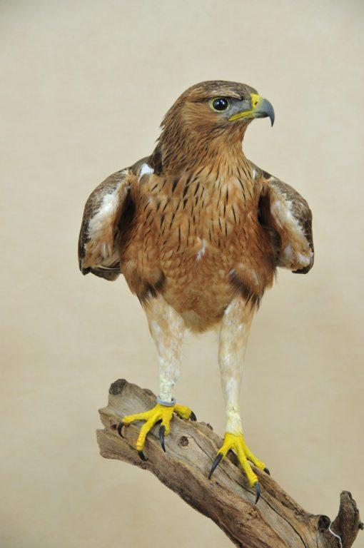 Taxidermy Bonelli's Eagle Aquila fasciata front