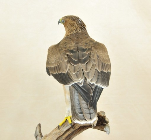 Taxidermy Bonelli's Eagle Aquila fasciata back
