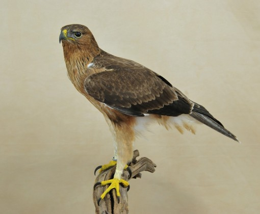 Taxidermy Bonelli's Eagle Aquila fasciata side