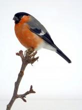 Taxidermy Bullfinch (Pyrrhula pyrrhula)