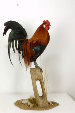 cockerel taxidermy stump