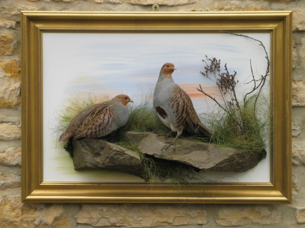 Grey Partridge taxidermy Mounts in case
