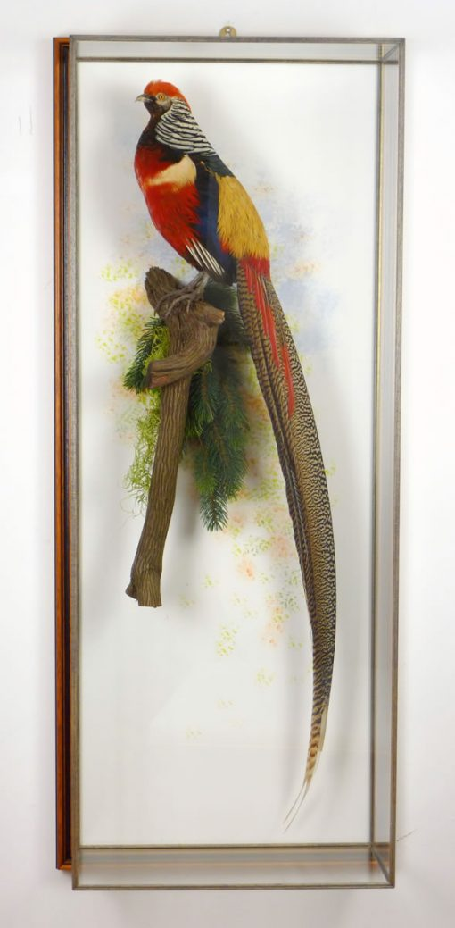 Golden Pheasant and Lady Amherst's taxidermy in case