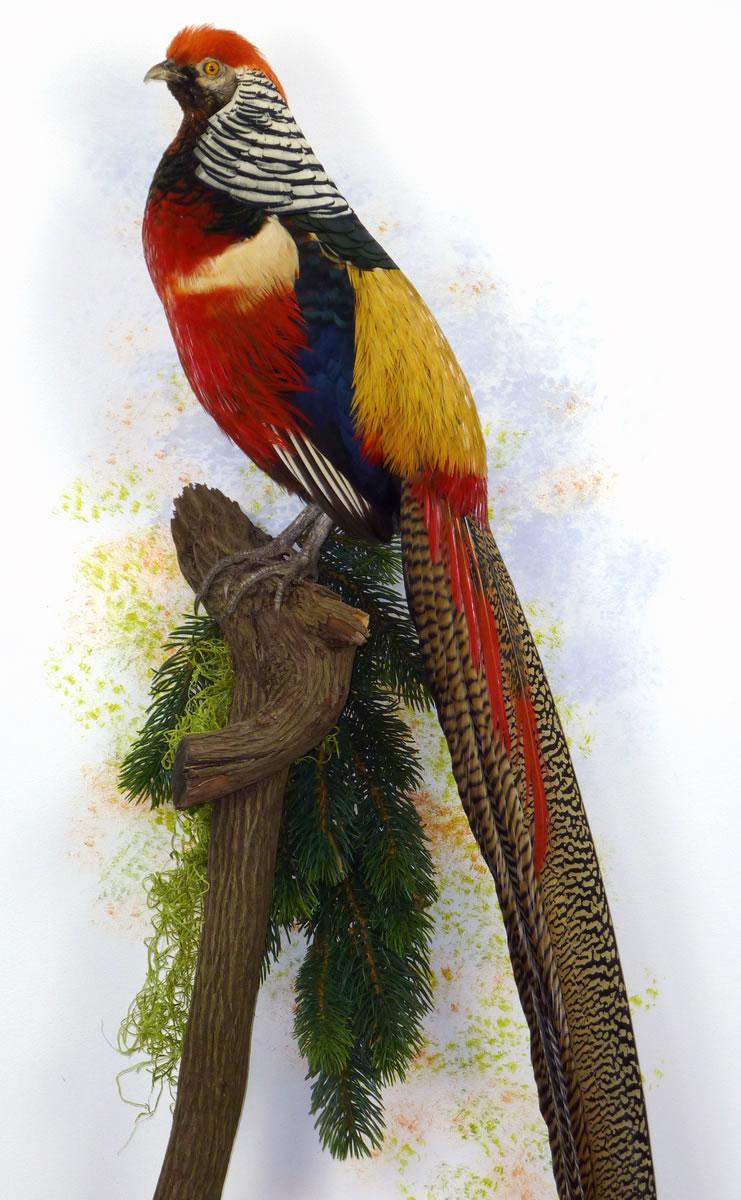 Goldern Lady Amerherst Amherst S Pheasant Uk Bird Small