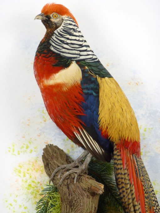 bird taxidermy Golden Pheasant and Lady Amherst's