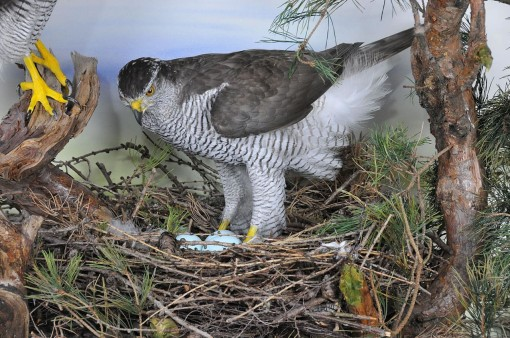 female Goshawk at nest taxidermy case