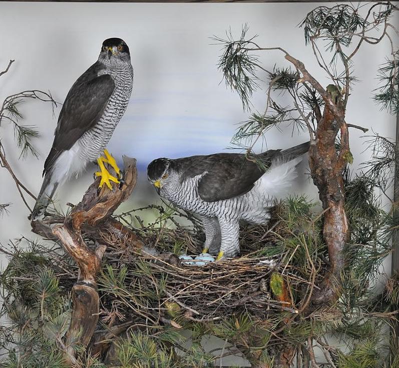 Goshawk at nest taxidermy case2