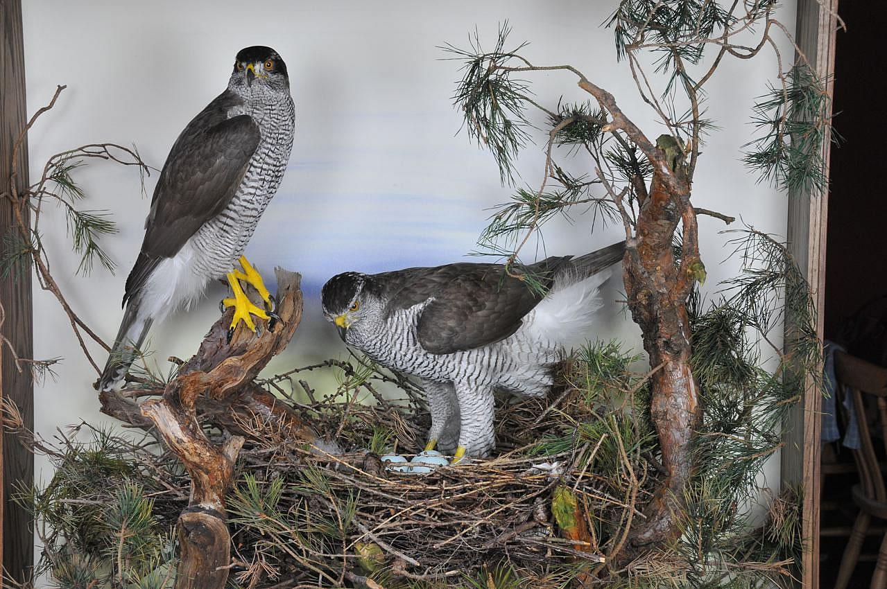 Goshawks at nest
