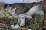 Goshawk on eggs nest taxidermy case