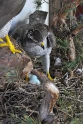 Goshawk side view at nest taxidermy case