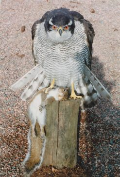 goshawk taxidermy roused with squirel