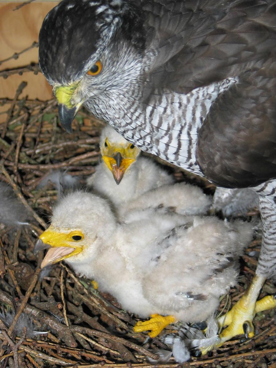 Goshawk chicks at nest taxidermy case