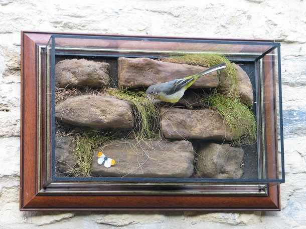 Taxidermy Grey Wagtail in wall case