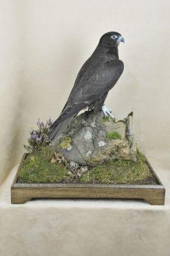 taxidermy Gyrfalcons (Falco rusticolus) case