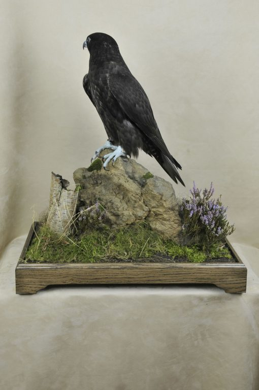 taxidermy Gyrfalcons (Falco rusticolus)