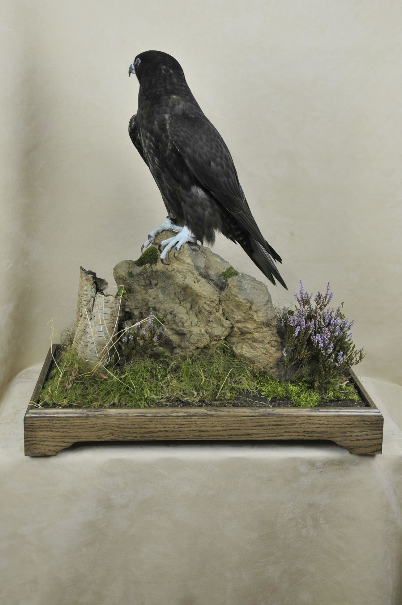 taxidermy Gyrfalcons (Falco rusticolus)