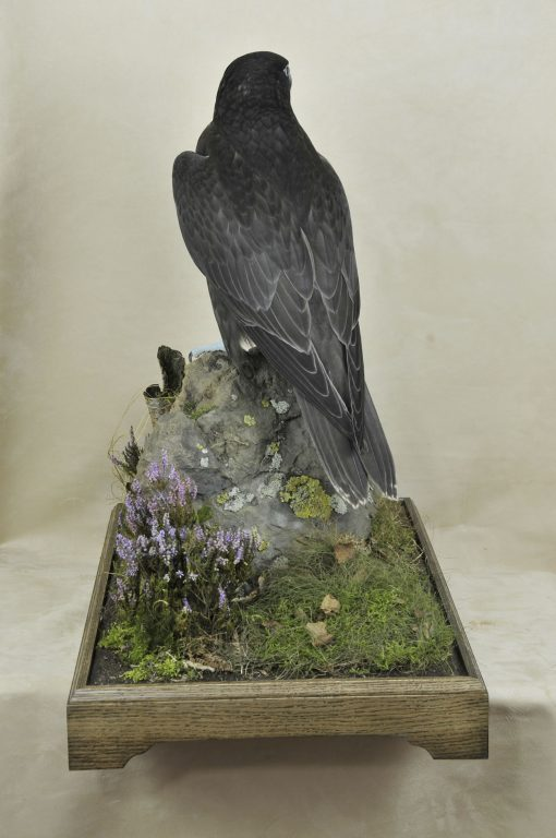 taxidermy Gyrfalcons (Falco rusticolus) back