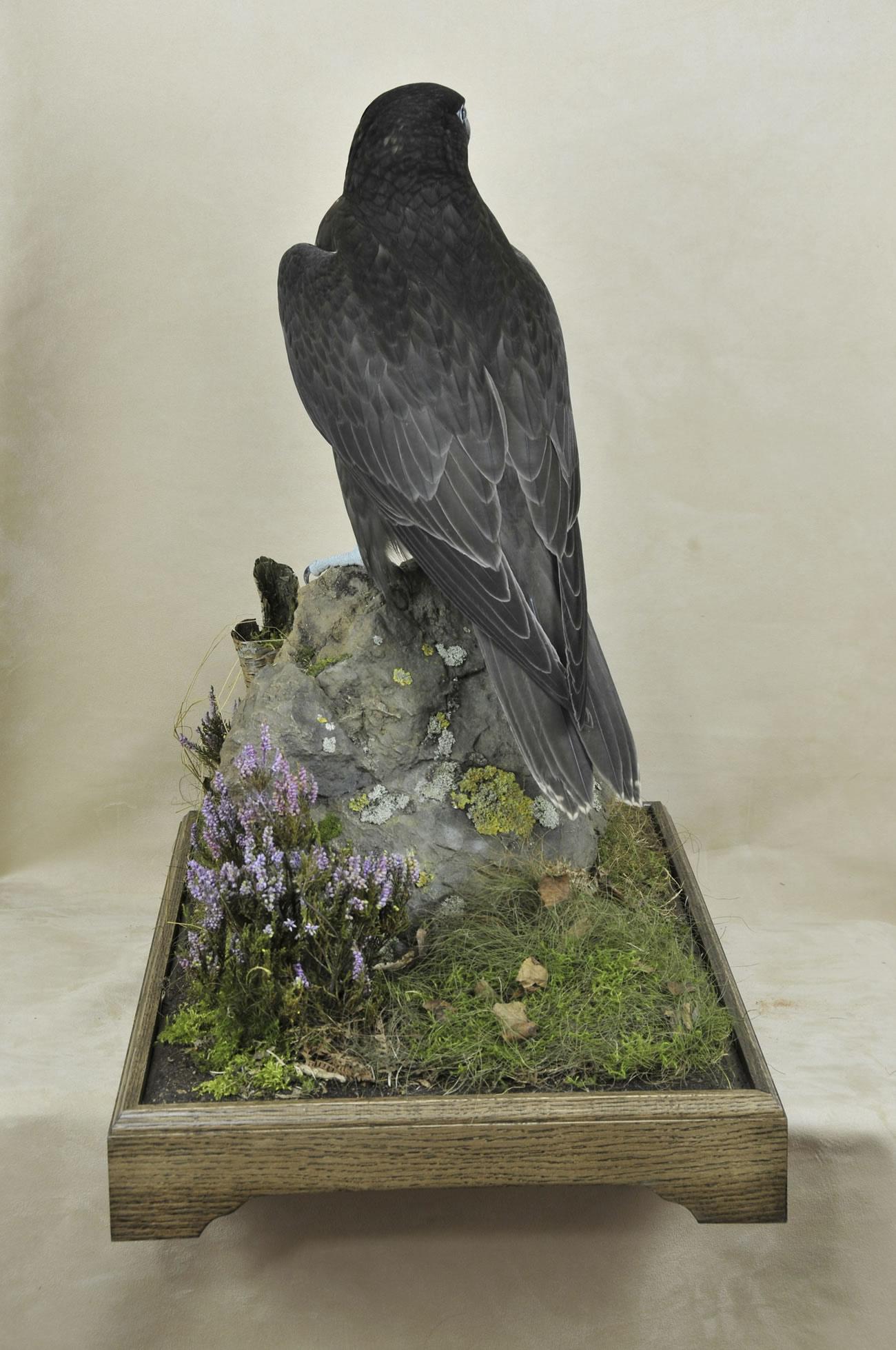 taxidermy Gyrfalcons (Falco rusticolus) back