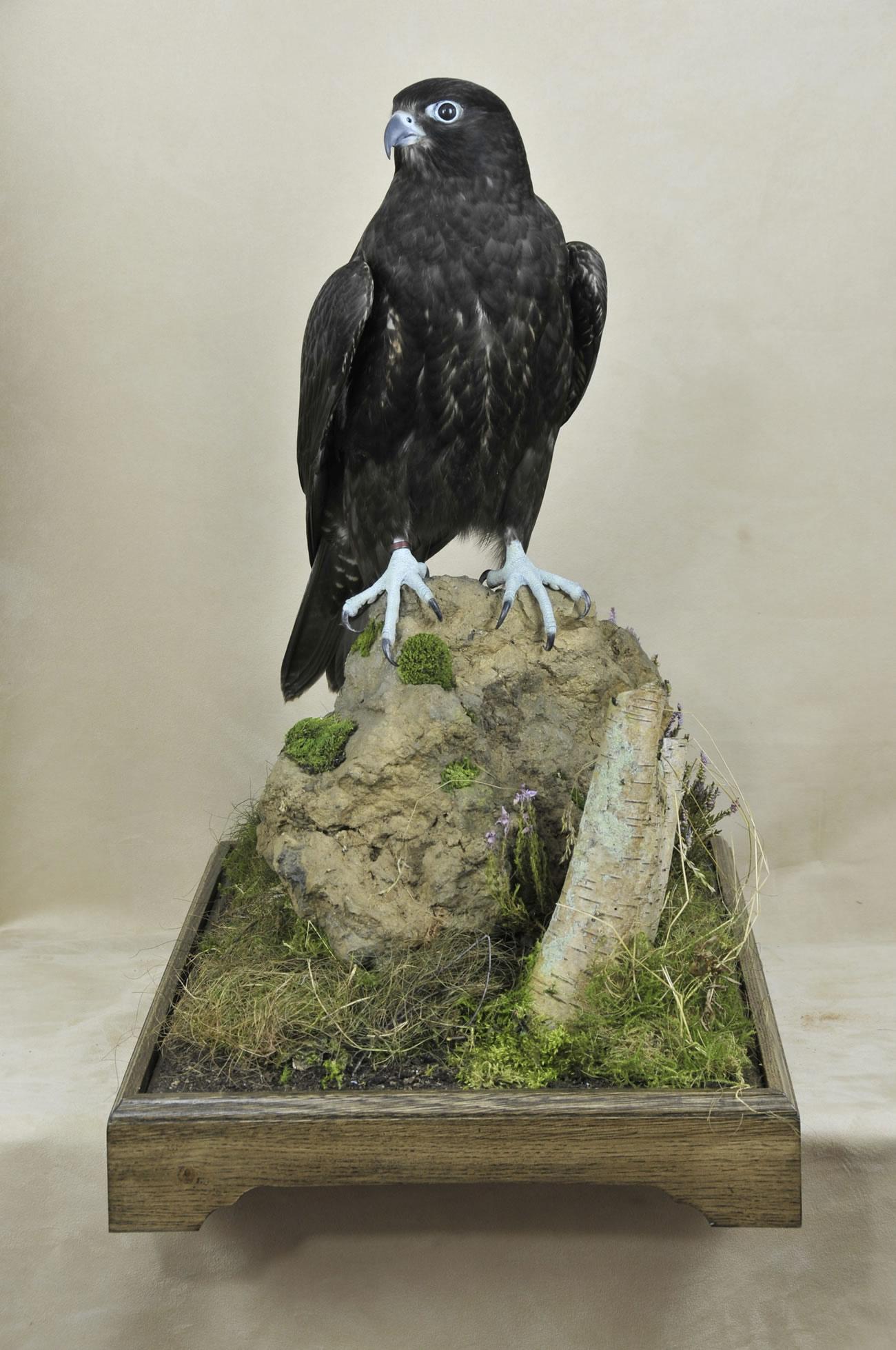 taxidermy Gyrfalcons (Falco rusticolus) front