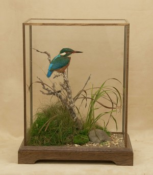 taxidermy Kingfisher in standard stained oak case
