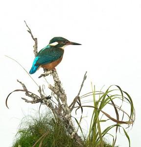 kingfisher5829-87