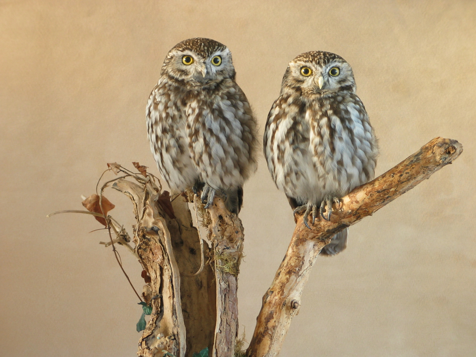 Little Owls (Athene noctua) pair  UK Bird Small Mammal
