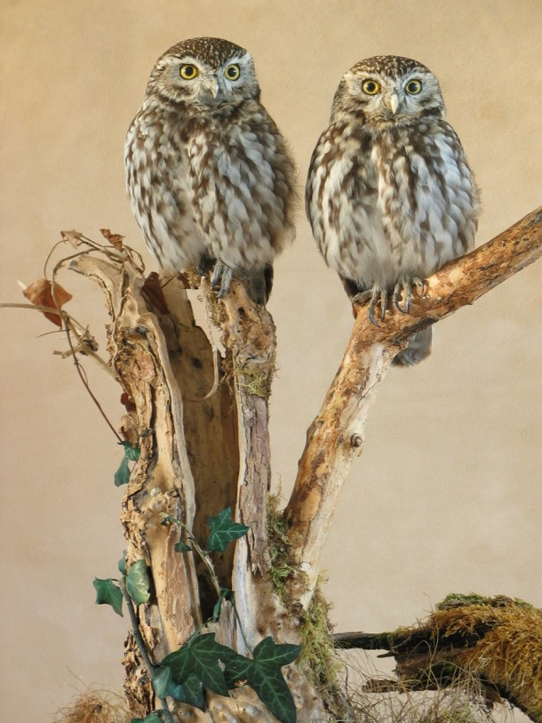 pair of Little Owl Taxidermy
