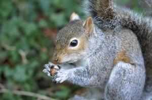 Grey Squirrel Taxidermy by Mike Gadd