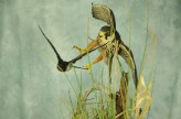 Bird Taxidermy Hobby Falcon winner 2013