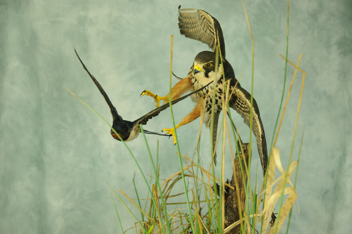 Bird Taxidermy Hobby Falcon winner 2013