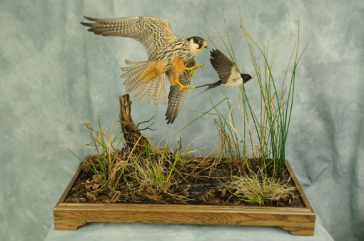 Bird Taxidermy Hobby Falcon winner 2013 full