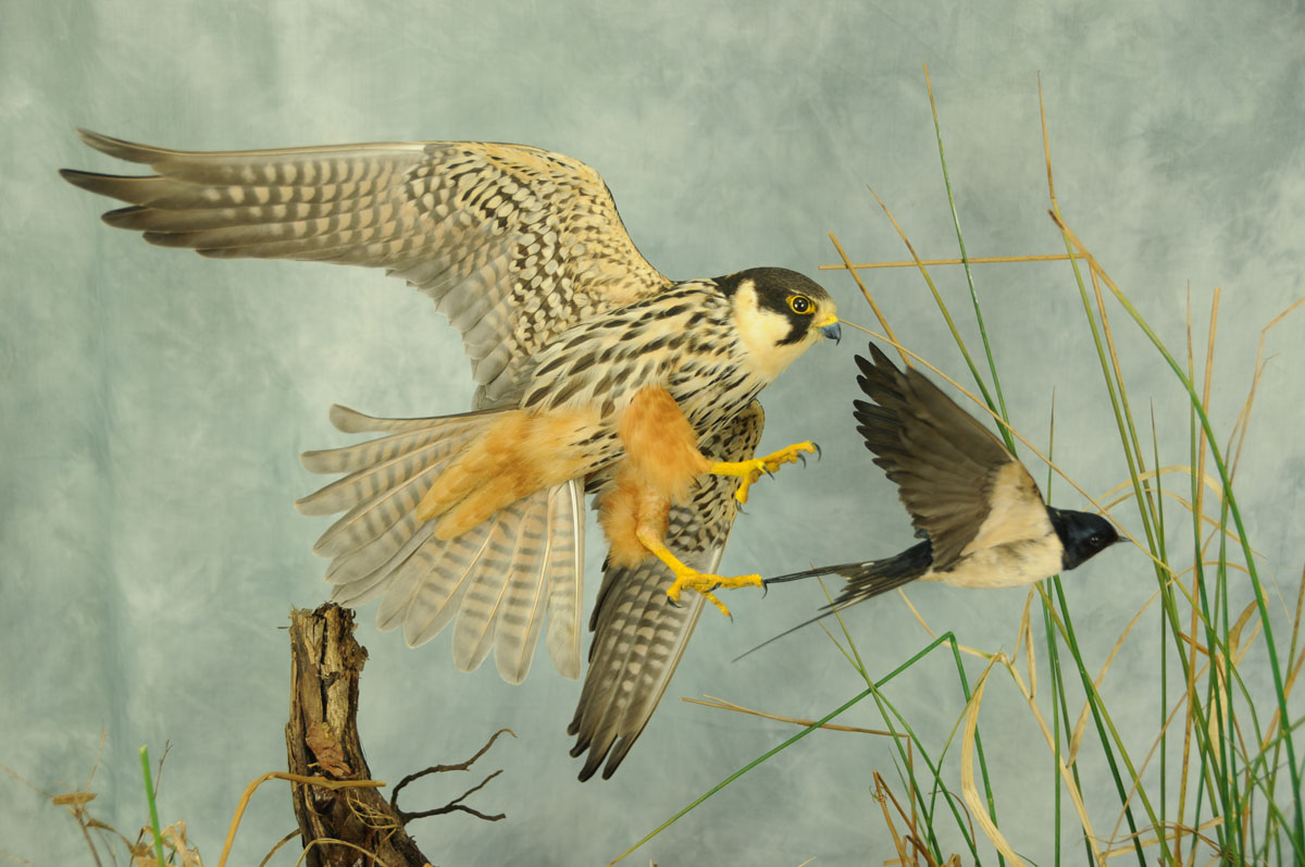 Bird Taxidermy Hobby Falcon winner 2013 side2
