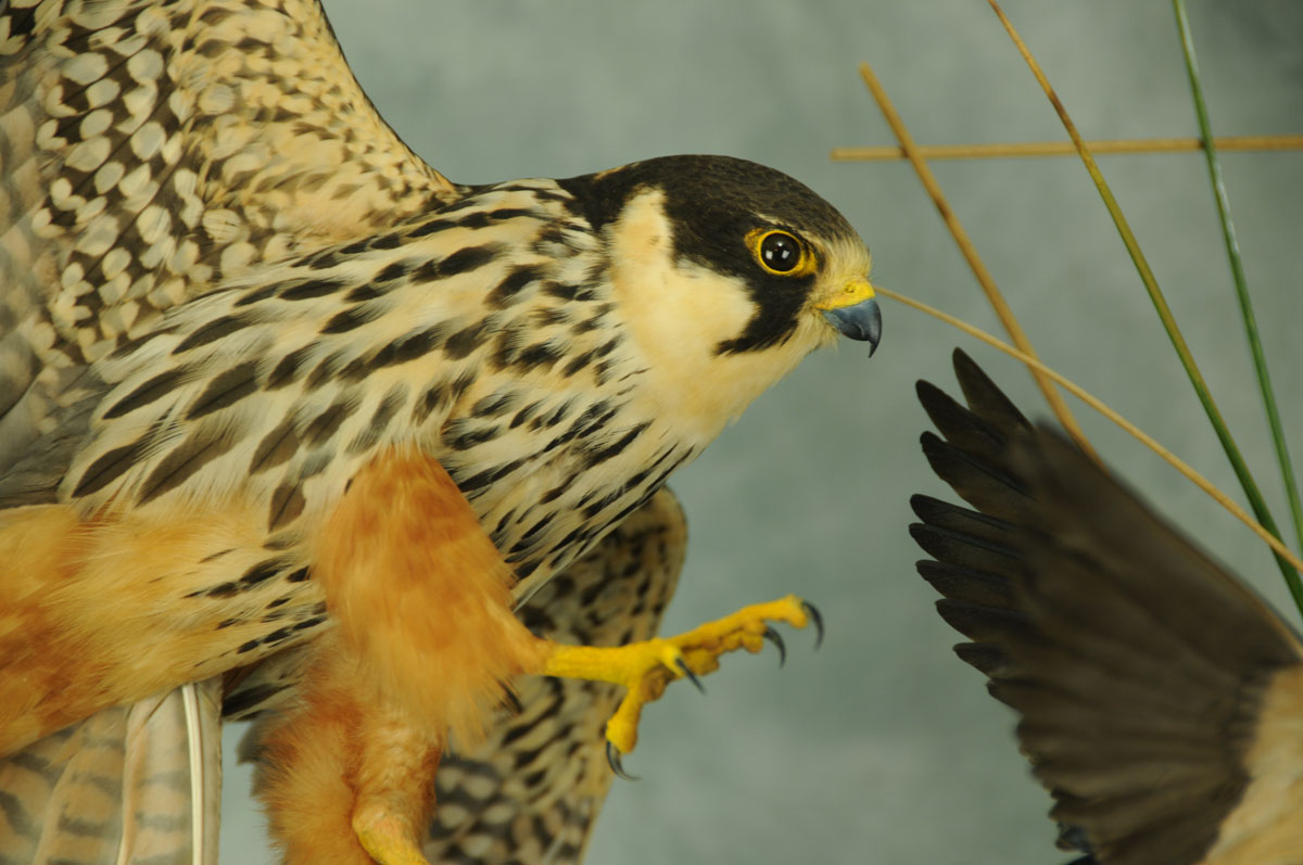 Bird Taxidermy Hobby Falcon winner 2013 closup